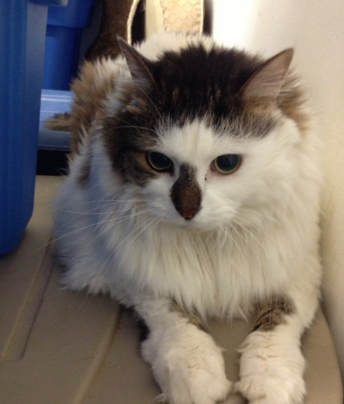 Cat for adoption, named Brando. Oasis Animal Rescue, Oshawa, Ontario