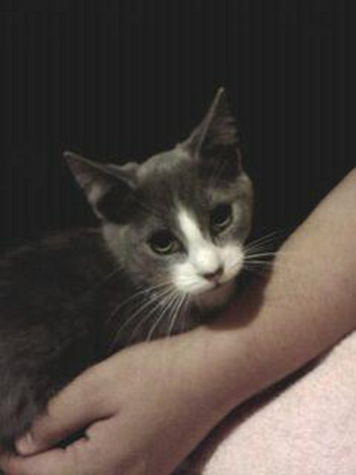 Kitten named Daytona for adoption. Oasis Animal Rescue