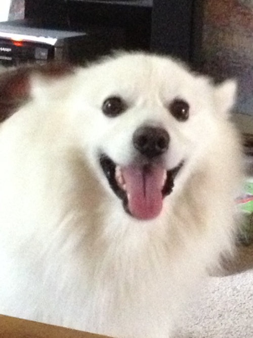 Denver, American Eskimo Dog for adoption. Oasis Animal Rescue.