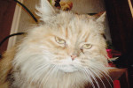 Kitty. Lonely Persian Cat Seeks New Home