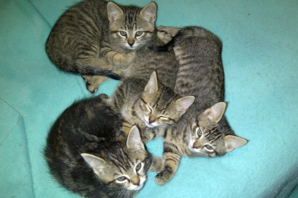 Maurie's kittens / cat for adoption at Oasis Animal Rescue
