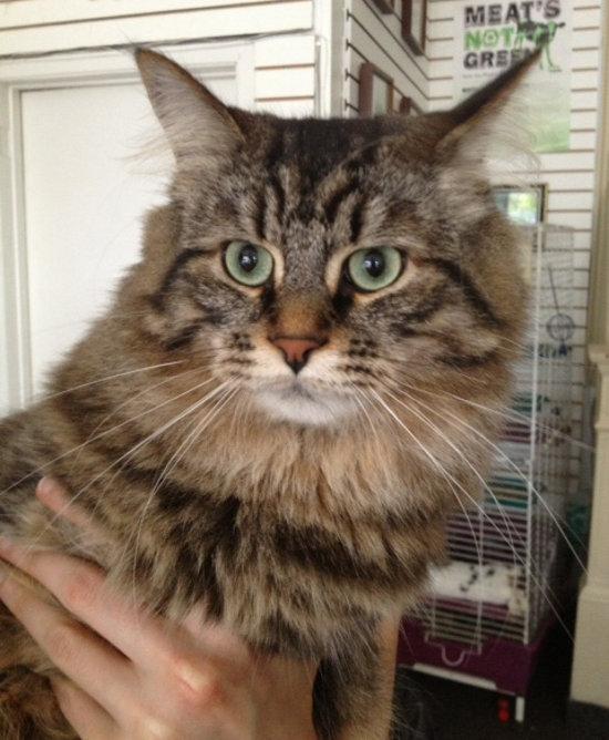 Tabby Cat Milo for Adoption