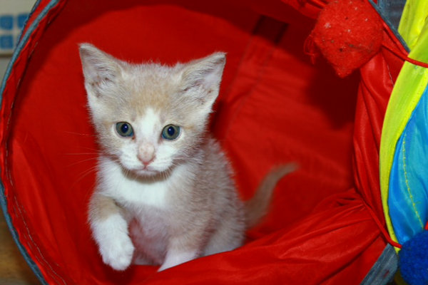 Kitten named Rotary, for adoption