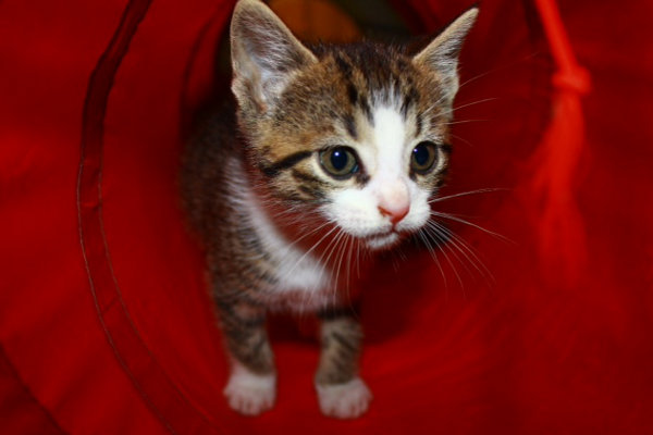 Thornton, a kitten for adoption in Oshawa