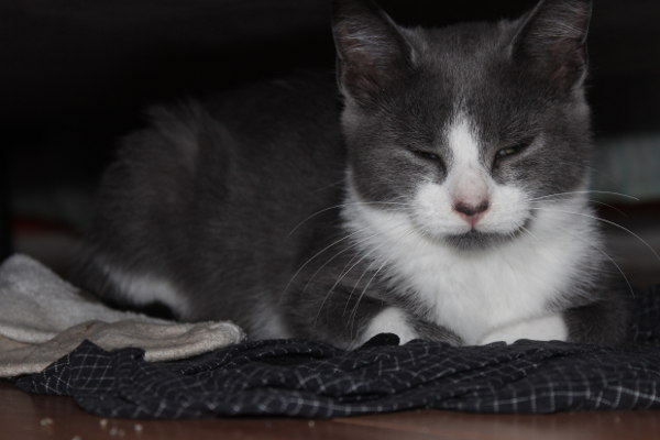 daytona, a kitten for adoption at Oasis Animal Rescue, Oshawa, ON