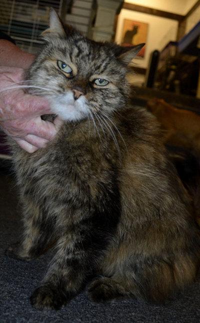 Hermione, cat for adoption, Oshawa.