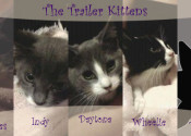 Trailer Kittens. Rescue pets for adoption