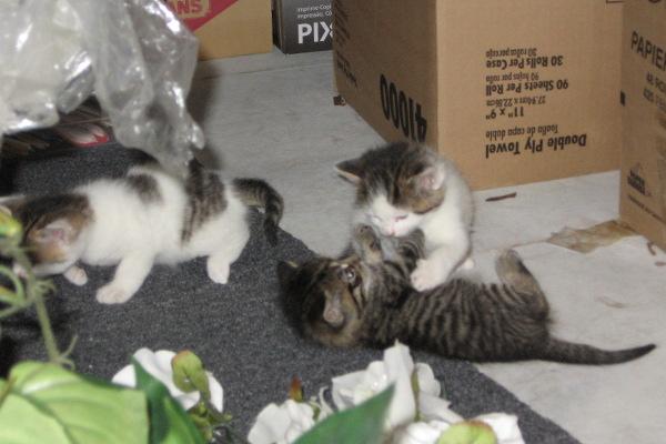 Bellas Kittens for adoption