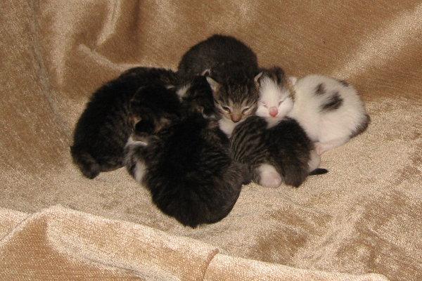Bella's kittens. Six kittens for adoption. Oasis Animal Rescue, Oshawa, ON