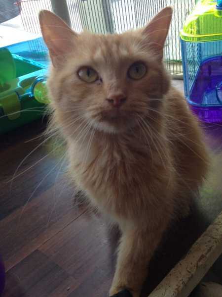 Thunder. Cat for adoption at oasis Animal Rescue, Oshawa, Ontario