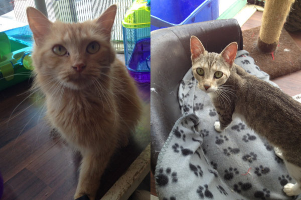 Cloud and Thunder. Cats for adoption at Oasis Animal Rescue, Oshawa, ON