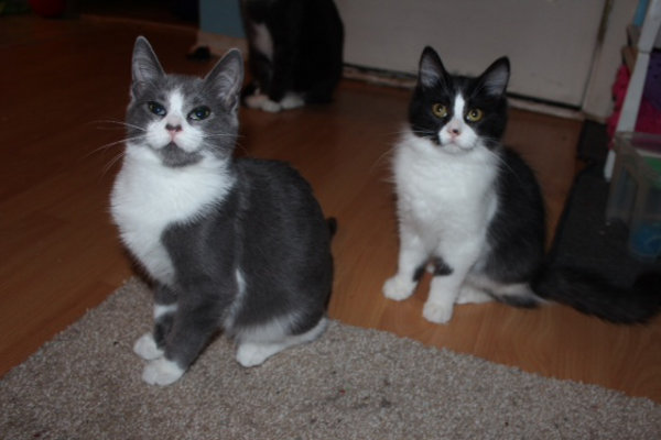 Daytona and Wheelie. Adoptable kittens at Oasis Animal Rescue, Oshawa, ON