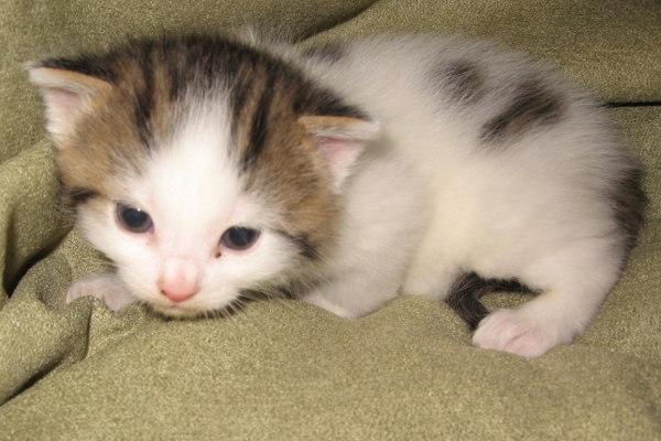 Peppy. An adoptable kitten at Oasis Animal Rescue, Oshawa, Ontario