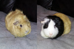 Pogo And Amiga. Guinea Pig Brothers Find A Home