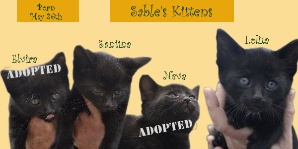 Sables Kittens for adoption at Oasis Animal Rescue
