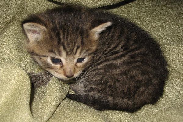Tiny. An adoptable kitten at Oasis Animal Rescue, Oshawa, Ontario