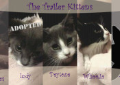 The 'Trailer' kittens for adoption. Oasis Animal Rescue, Oshawa, ON