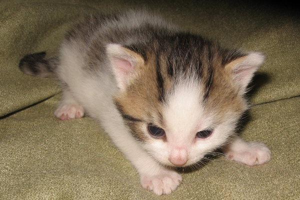 Zesty. An adoptable kitten at Oasis Animal Rescue, Oshawa, Ontario