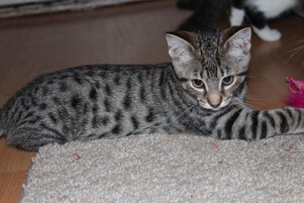 Ziggy. An adoptable kitten at Oasis Animal Rescue, Oshawa, ON