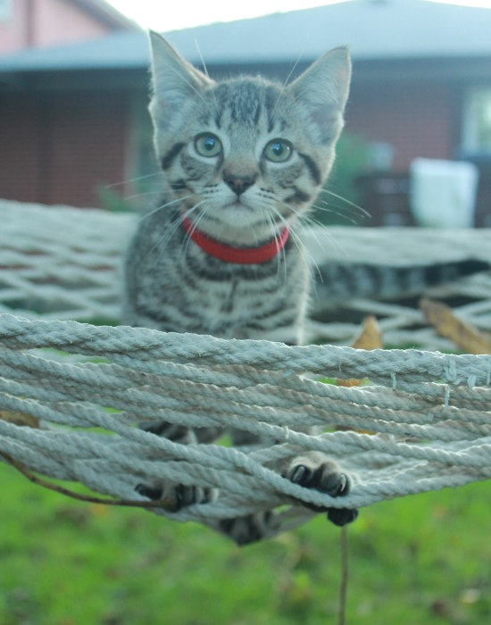 Ziggy, relaxing in hammock. Kitten for adopton at Oasis Animal Rescue