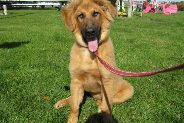 Diesel, a dog for adoption at Oasis Animal Rescue, Oshawa, ON