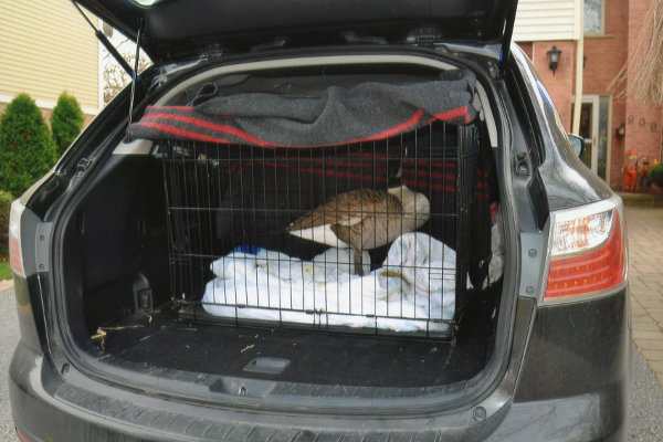 Sammy D. Goose being transported to foster home. Oasis Animal Rescue