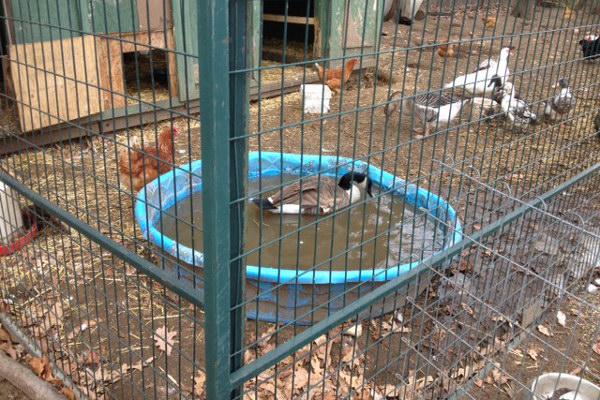 Sammy D. Goose taking a bath. Oasis Animal Rescue