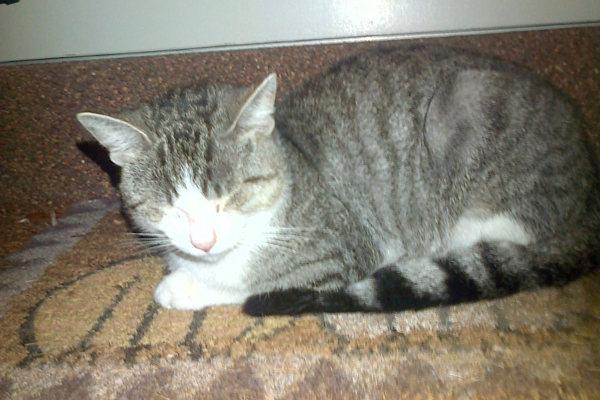 Tigger. Cat for adoption at Oasis Animal Rescue, Oshawa
