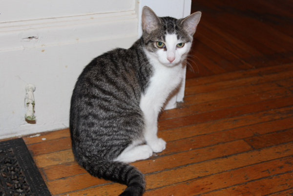 Cat for adoption - Dodger