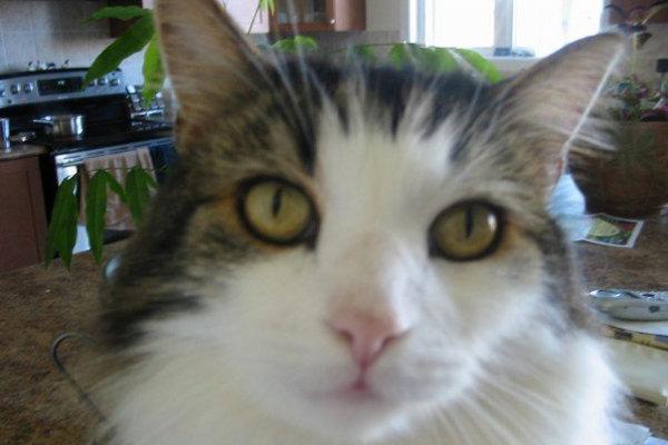 Fiza. A cat for adoption through Oasis Animal Rescue, in Oshawa, Ontario