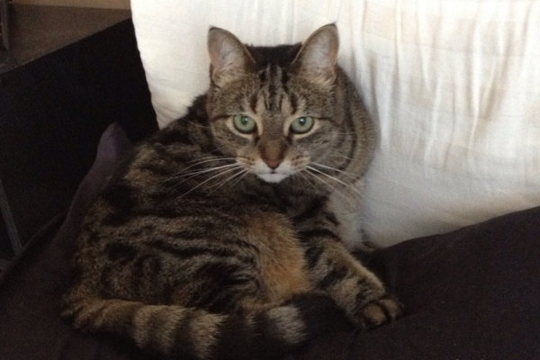 Jazz. A female cat for adoption at Oasis Animal Rescue, Oshawa, Durham Region, ON