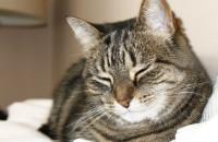 Jazz. A female cat for adoption at Oasis Animal Rescue, Oshawa, Durham Region, ON