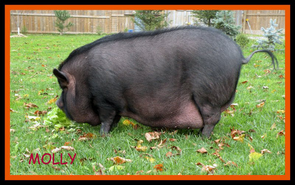 Molly, A Pot Bellied Pig Available For Adoption. Contact Oasis Animal Rescue, Oshawa
