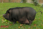 Molly. Pot Bellied Pig Finds Her Forever Home
