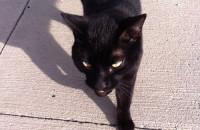 Neutered cat for adoption named Oscar