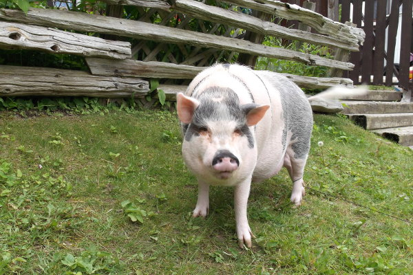 Bacon, a pot bellied pig for adoption. Contact Oasis Animal Rescue, Oshawa, ON