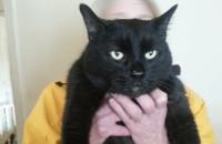 Blackie. Cat for adoption at Oasis Animal Rescue, Oshawa