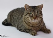 Maynard. A cat for adoption at Oasis Animal Rescue, Durham Region