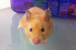 Terrence, a hamster for adoption