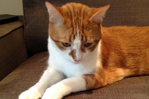 Emmit. Cat for adoption at Oasis Animal Rescue, Oshawa, Durham Region