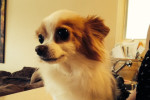 Matty. Chihuahua Has Found Excellent New Home