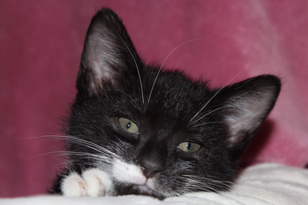 Alfie. An adoptable kitten at Oasis Animal Rescue, Oshawa, ON