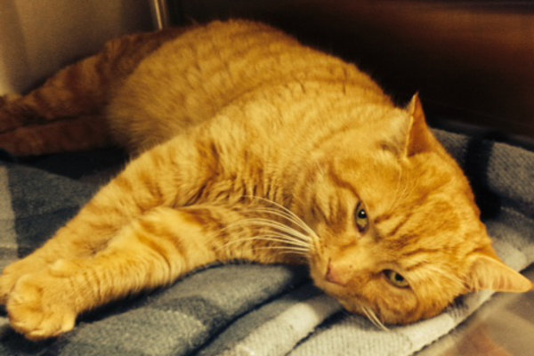 Garfield. Rescue cat for adoption at Oasis Animal Rescue, Oshawa, ON