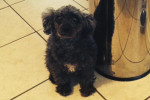 Lily. Adorable Mini Poodle Finds Forever Home