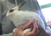 Munchkin. Rabbit for adoption at Oasis Animal Rescue, Oshawa, ON