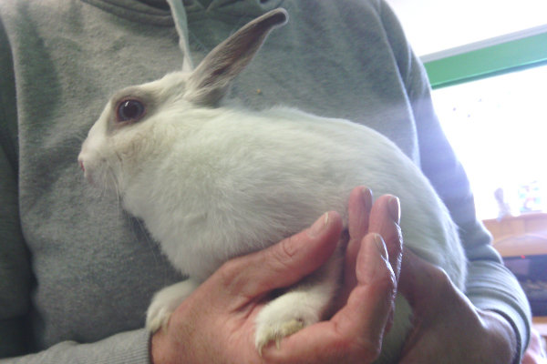 Munchkin. Rabbit for adoption at Oasis Animal Rescue, Oshawa, ON