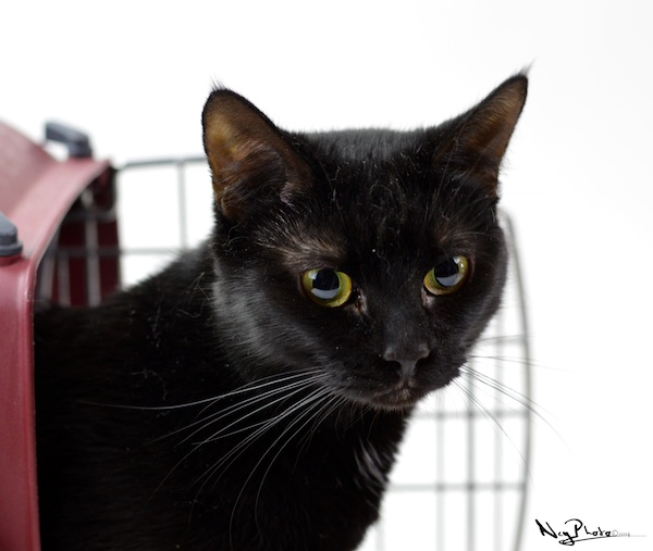 Mystique. An adoptable cat at Oasis Animal Rescue