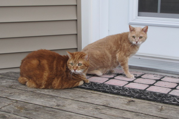 Laid back, sociable cats for adoption. Rusty and Dusty. Oasis Animal Rescue