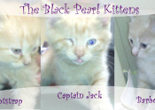 The 'Black Pearl' Kittens for adoption. Oasis Animal Rescue, Oshawa, Durham Region