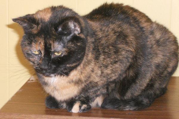 Mimi. A cat for adoption at Oasis Animal Rescue, Oshawa, Durham Region, Ontario